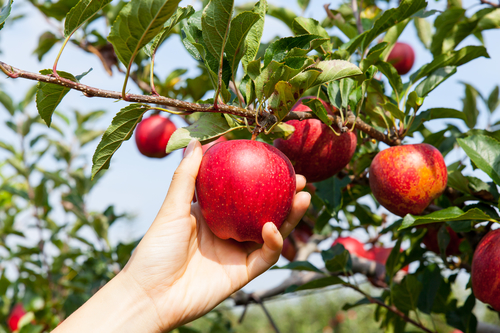 Where to Get Your September Apples in Long Island