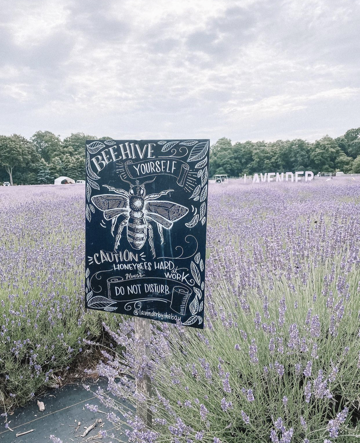 An Enchanting Lavender Field, Close To Home